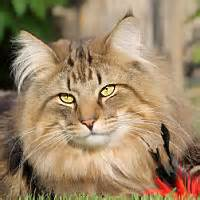 NFC MALES   Gallifrey's Norwegian Forest Cats   Norvég